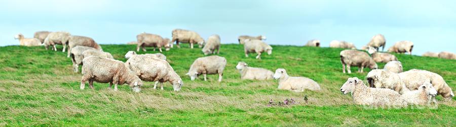 Sheep Photograph - Sheeps by MotHaiBaPhoto Prints