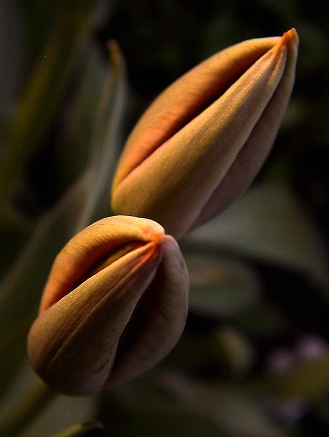 Abstract Photograph - Tulips by Odon Czintos