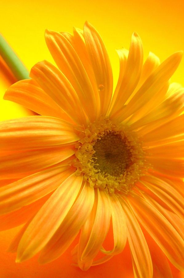 Gerbera Photographs Photograph - 7321-007 by Kimberlie Gerner
