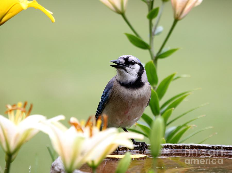 Nature Photograph - Blue Jay by Jack R Brock