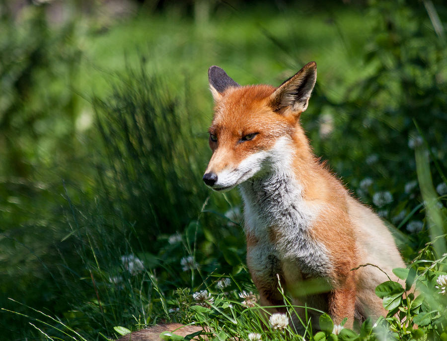 Animal Photograph - A British Red Fox by Dawn OConnor