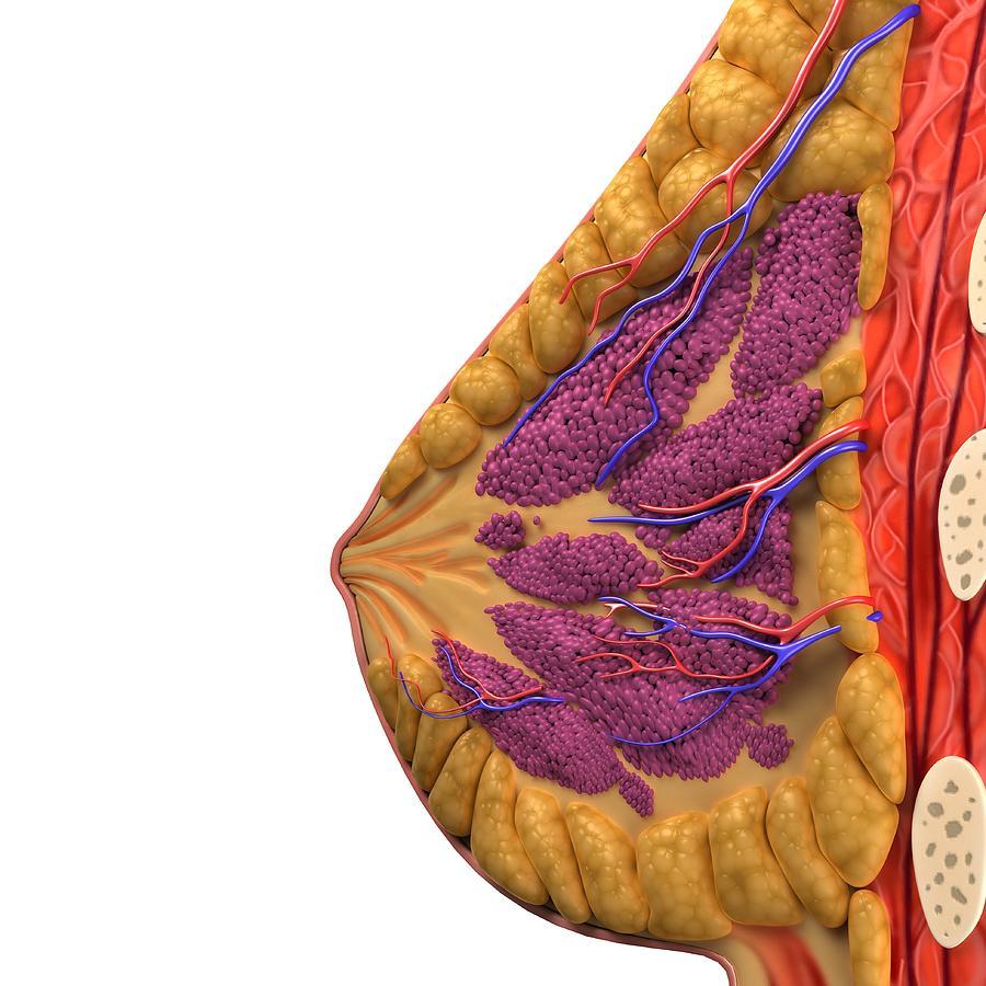 Breast Anatomy, Artwork Digital Art by Sciepro