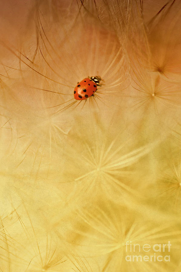 Insect Photograph - Dandelions by Iris Greenwell