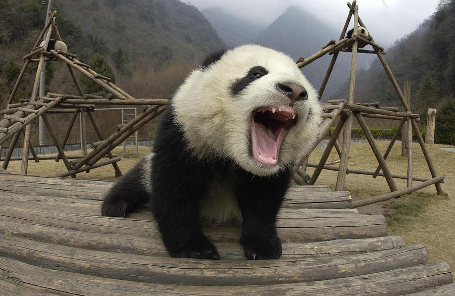 8-giant-panda-ailuropoda-melanoleuca-kat
