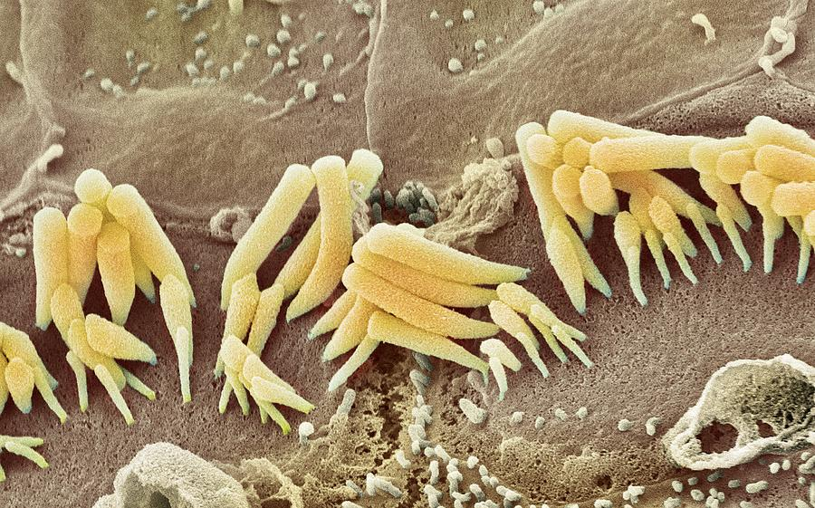 Images Photograph - Inner Ear Hair Cells, Sem by Steve Gschmeissner