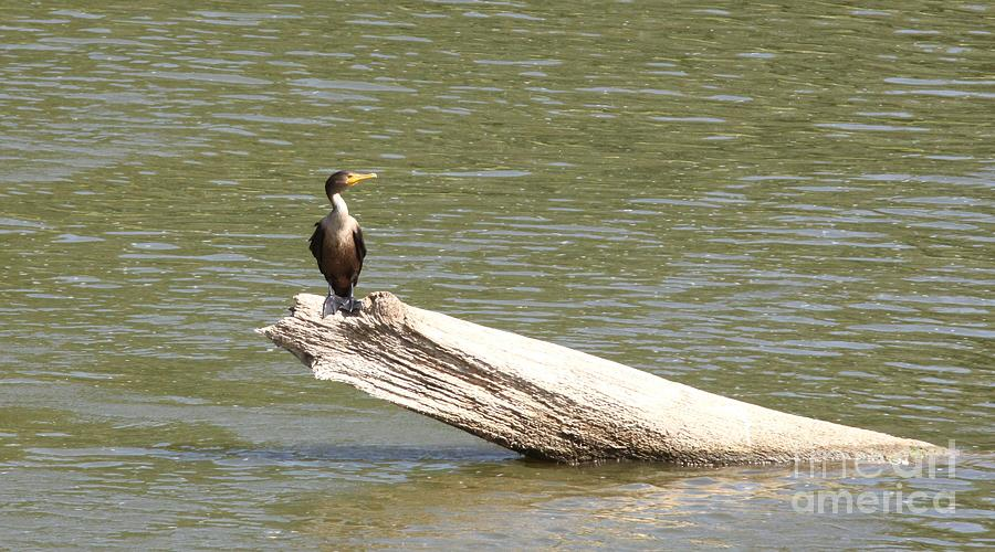 Nature Photograph - Double-crested Cormorant by Jack R Brock