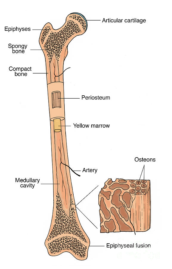 Illustration Of Bone Structure Photograph By Science Source