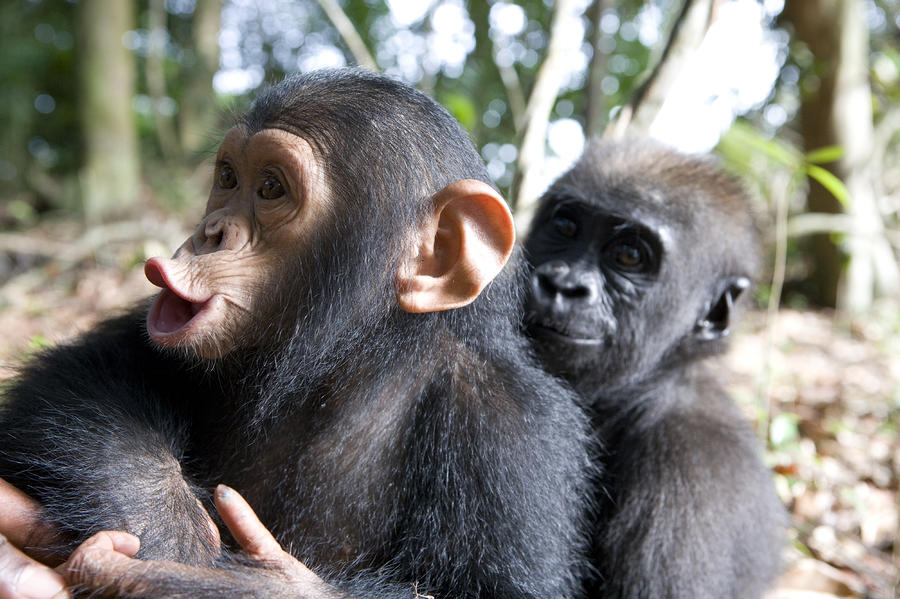 A Baby Gorilla And A Chimpanzee Hugging Photograph By