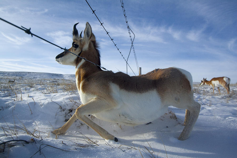 Outdoors Photograph - A Barbed Wire Fence Is An Obstacle by Joel Sartore