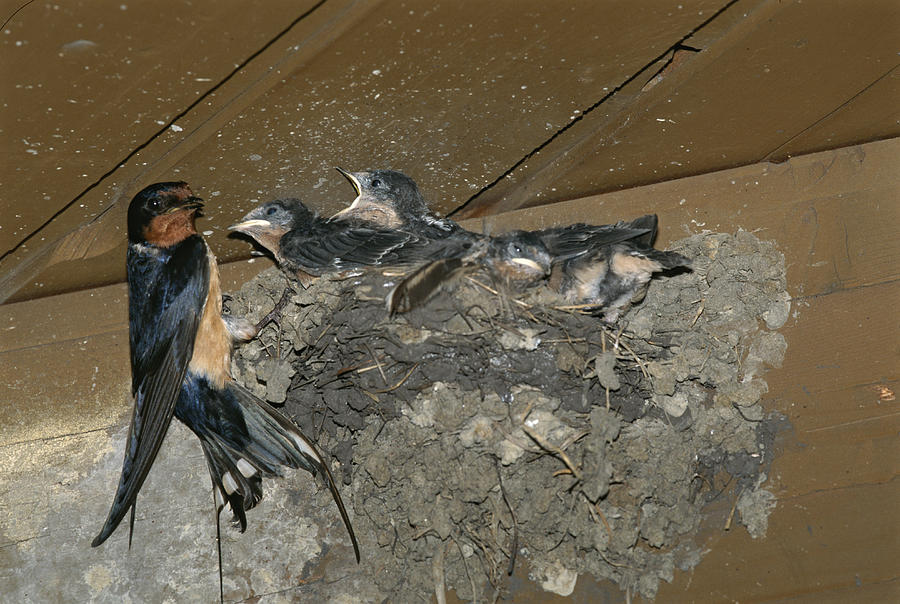Hirundo Rustica Photograph - A Barn Swallow Mother Feeds Her Young by Norbert Rosing