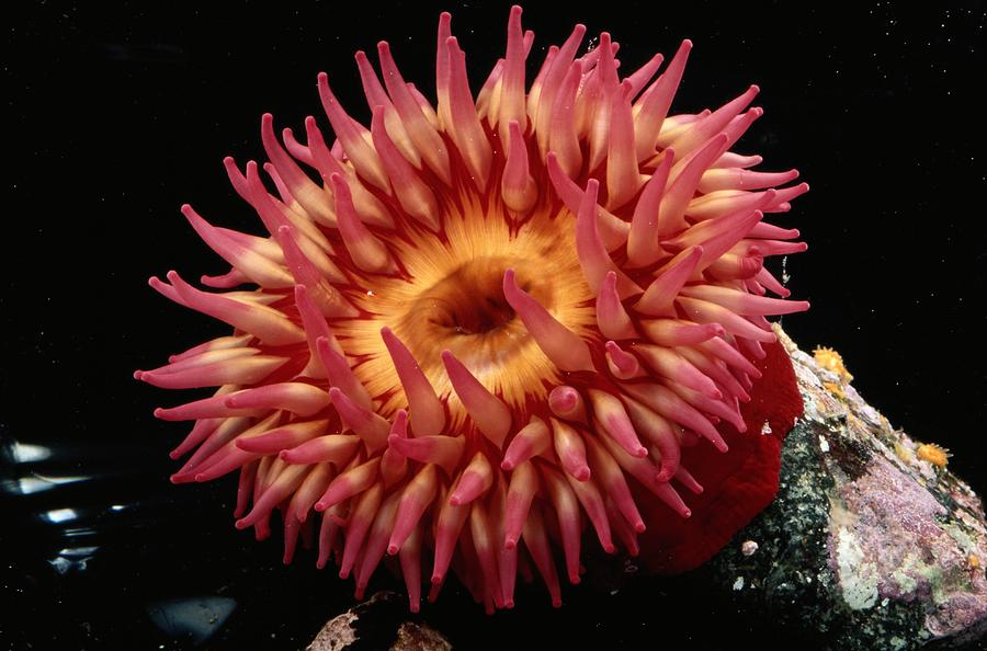 A Beautiful Sea Anemone In Shades Photograph By George Grall
