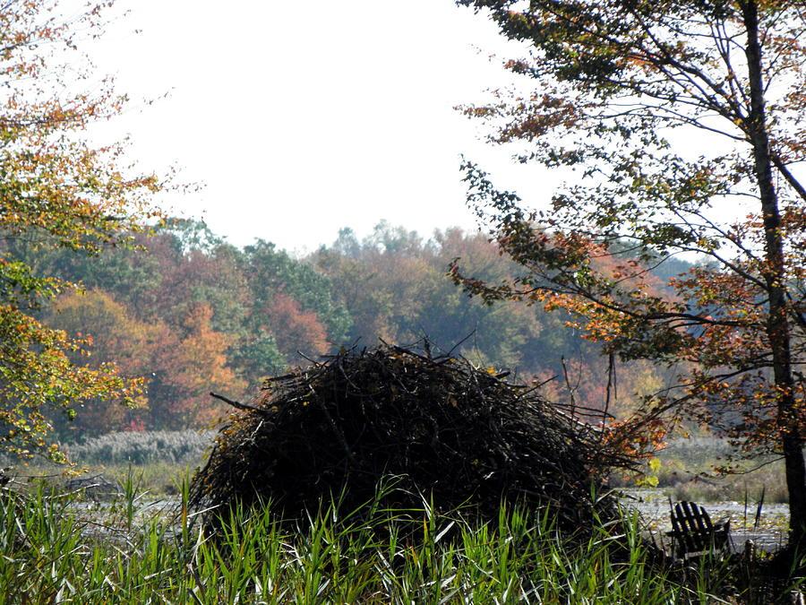 Beaver Photograph - A Beavers Home by Kim Galluzzo Wozniak