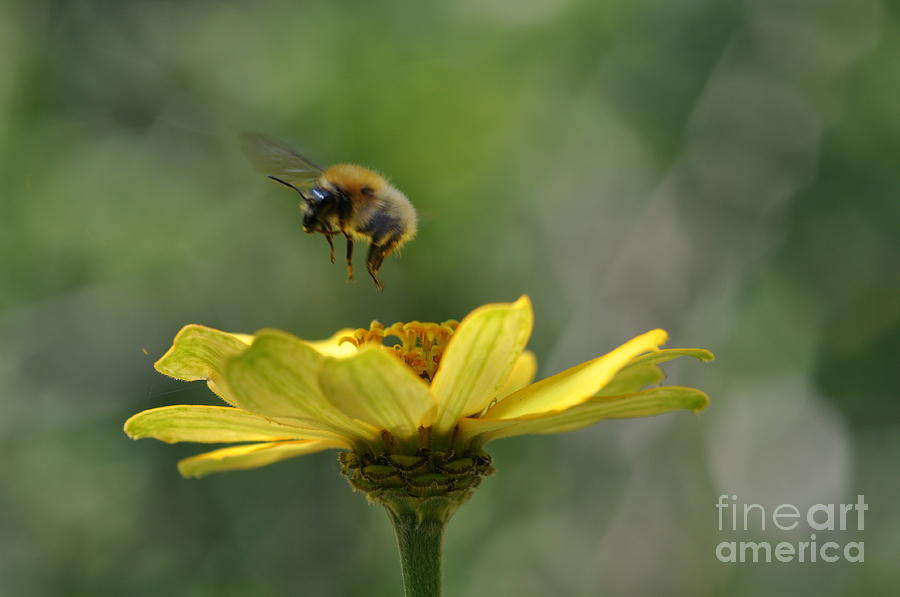 Bee Photograph - A Bee by Sylvie Leandre
