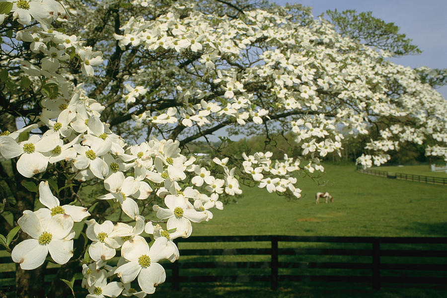 Plants Photograph - A Blossoming Dogwood Tree In Virginia by Annie Griffiths