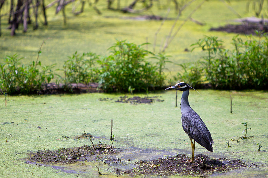 Aligator Photograph - A Blue Bird In A Wetland -yellow-crowned Night Heron  by Ellie Teramoto