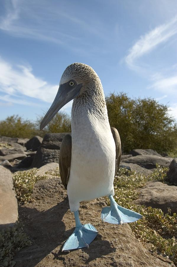 Pacific Islands Photograph - A Blue-footed Booby Of The Galapagos by Ralph Lee Hopkins