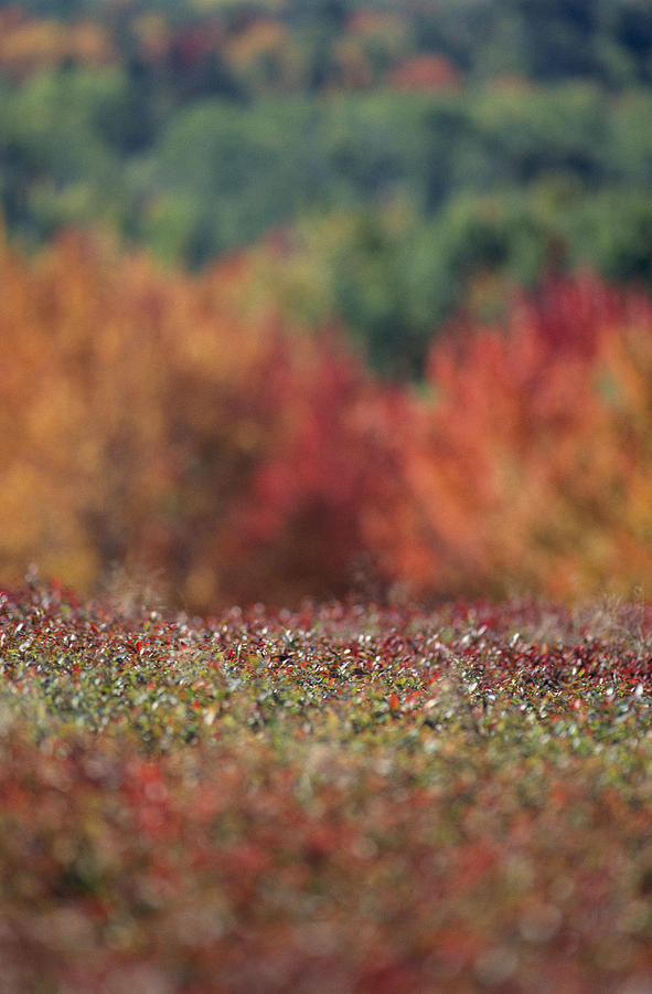 North America Photograph - A Blueberry Patch Alongside Maines by Nick Caloyianis