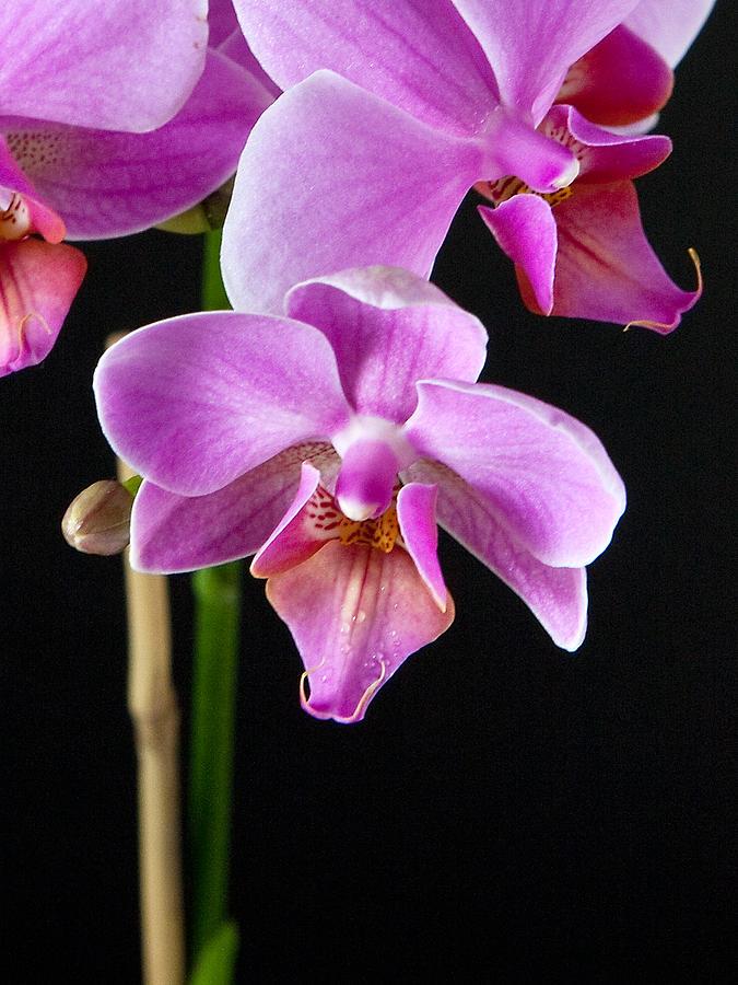 Flower Photograph - A Brilliant Orchid by Charlie Osborn