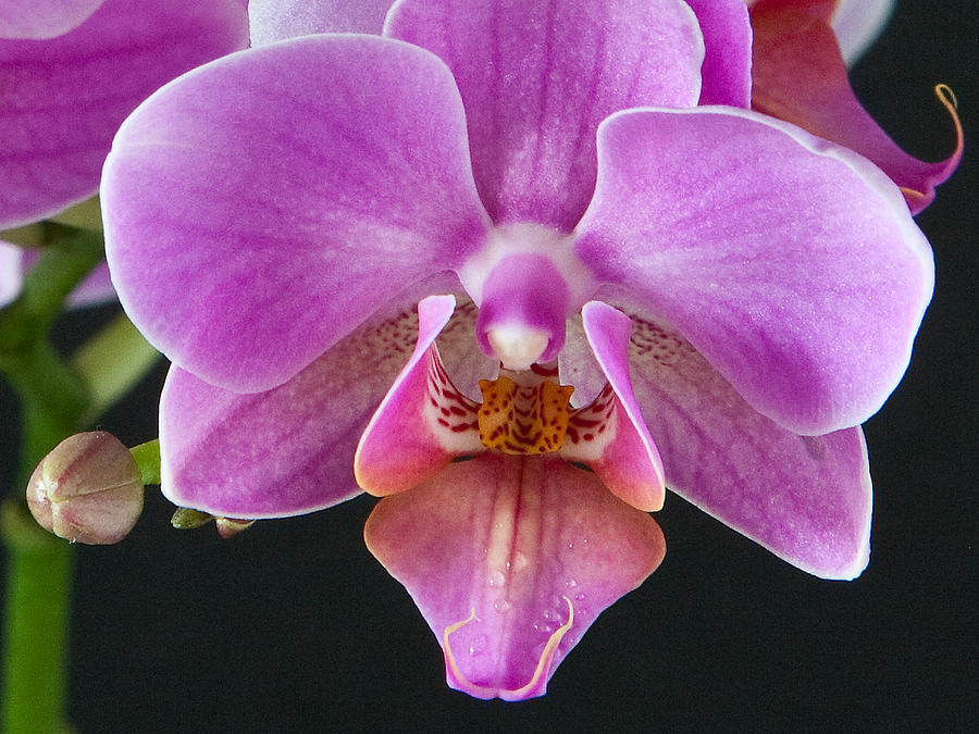 Flower Photograph - A Brilliant Orchid II by Charlie Osborn