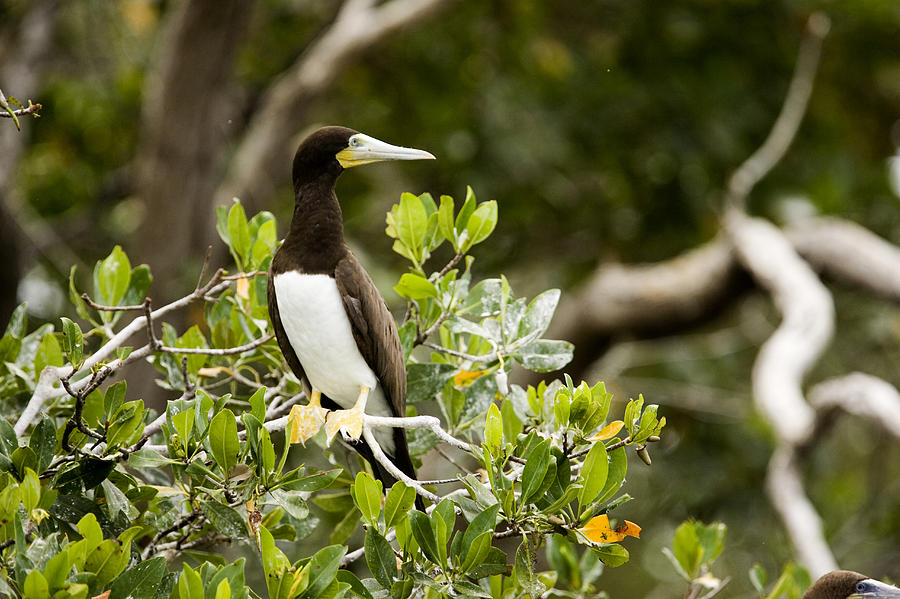 Man Of War Cay Photograph - A Brown Booby Sula Leucogaster by Tim Laman