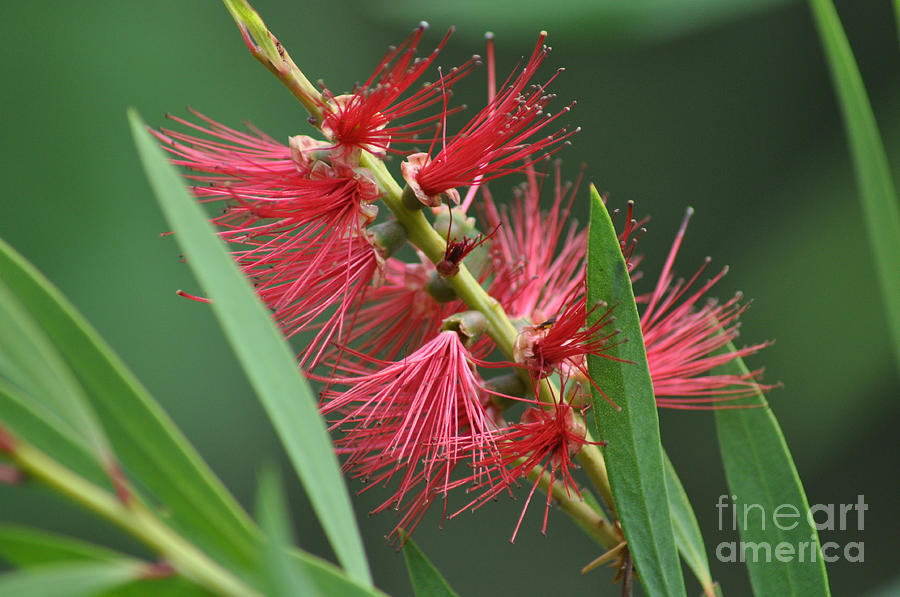 Bottle Brush Photograph - A Brush With Beauty by Joanne Kocwin