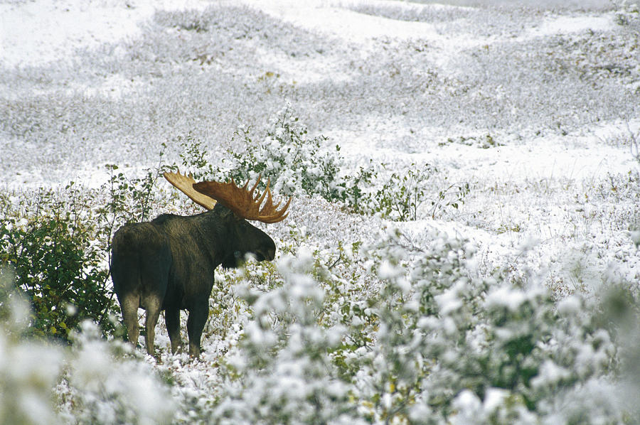 North America Photograph - A Bull Moose On A Snow Covered Hillside by Rich Reid