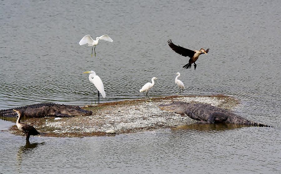 Alligator Photograph - A Busy Day by Paulette Thomas