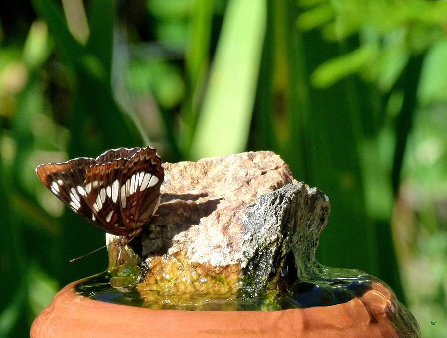Butterfly Photograph - A Butterfly Enjoys A Drink by Will Borden