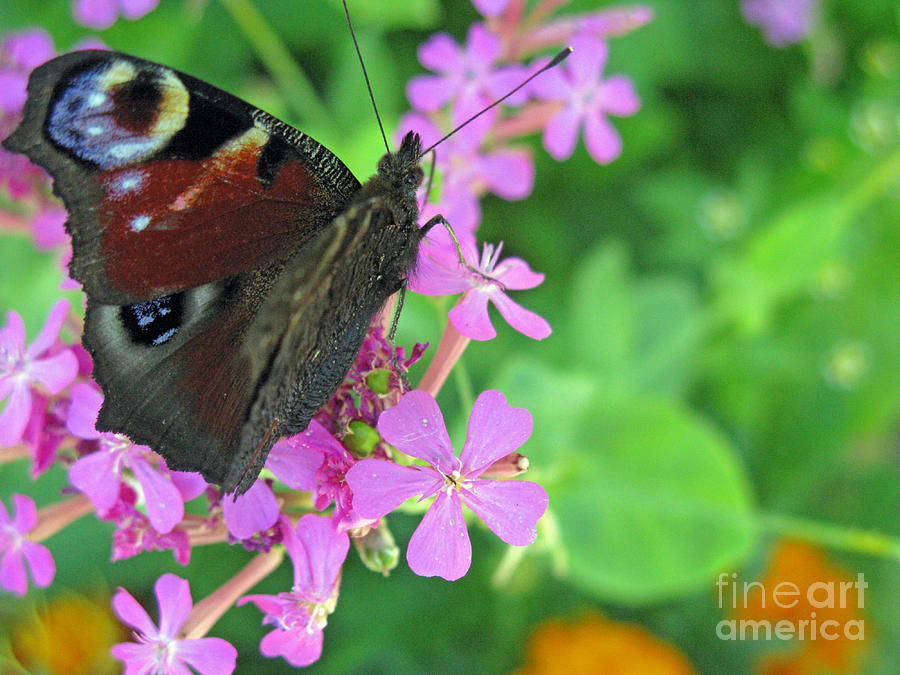 Nature Photograph - A Butterfly On The Pink Flower 2 by Ausra Huntington nee Paulauskaite