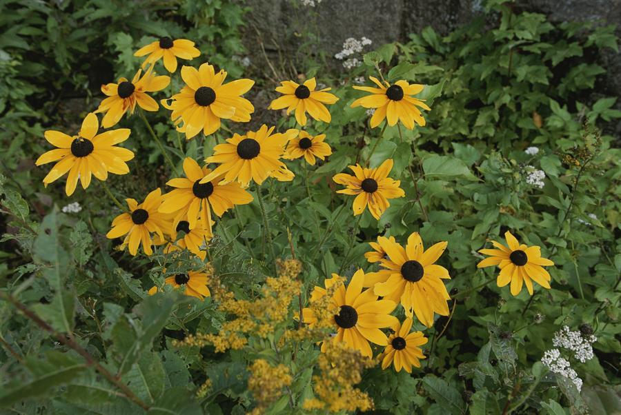 North America Photograph - A Close View Of Black-eyed Susans by Michael S. Lewis