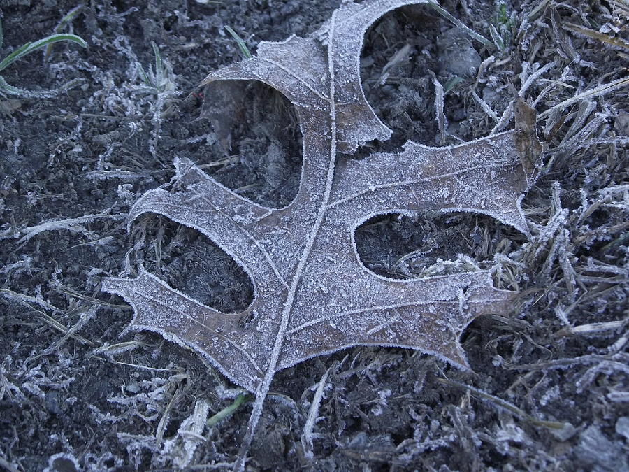 Frost Photograph - A Cold Wintery Leaf by Erika Kennedy