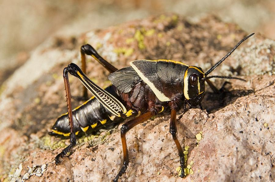American Photograph - A Colorful Lubber Grasshopper by Jack Goldfarb