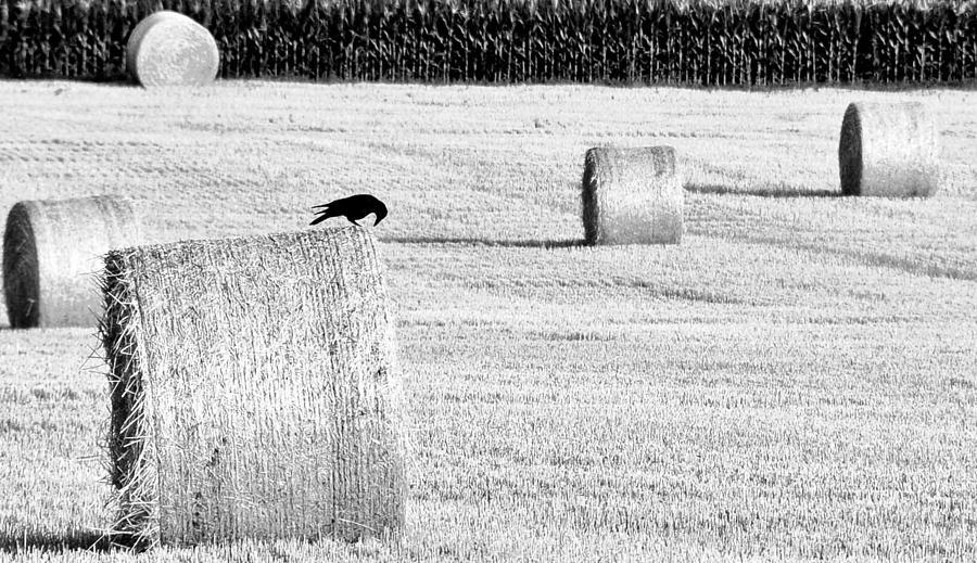Crow Photograph - A Crows Curiosity by Dana Walton