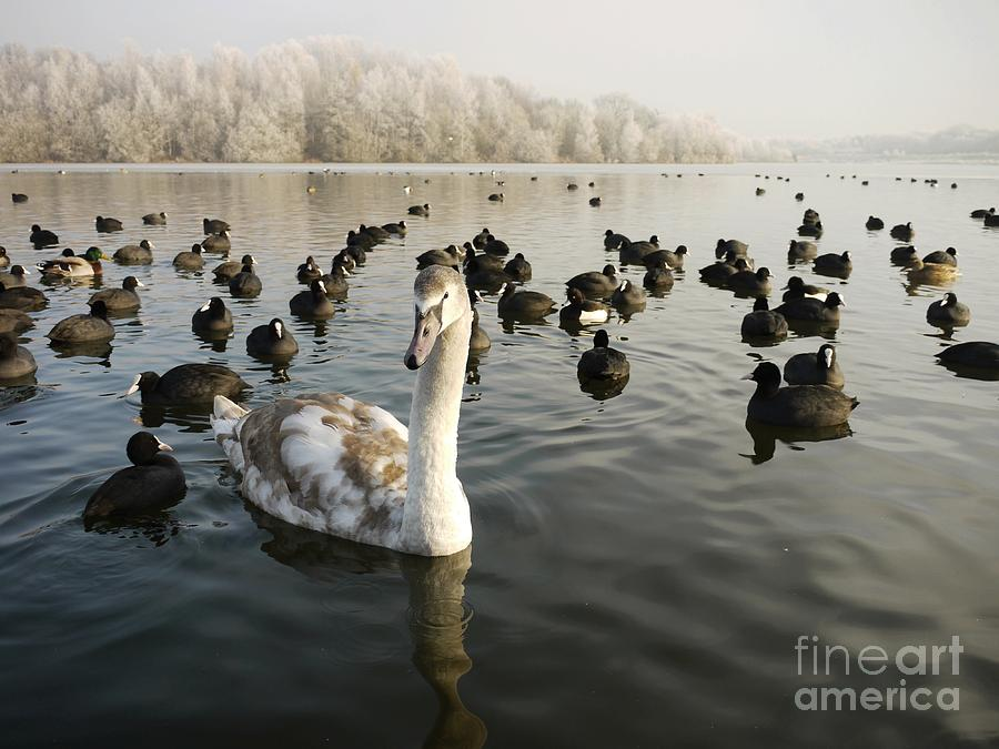 Cygnet Photograph - A Cygnets First Winter by John Chatterley