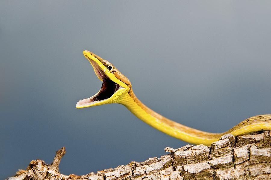 A Defensive Brown Vine Snake Oxybelis Photograph