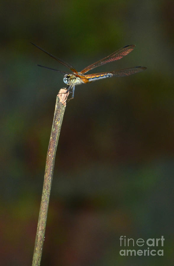 A Dragon - Fly Photograph by Jiss Joseph