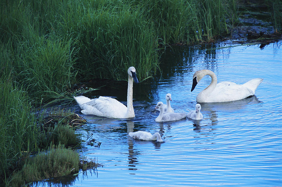 Animals Photograph - A Family Of Trumpeter Swans Swims by Melissa Farlow