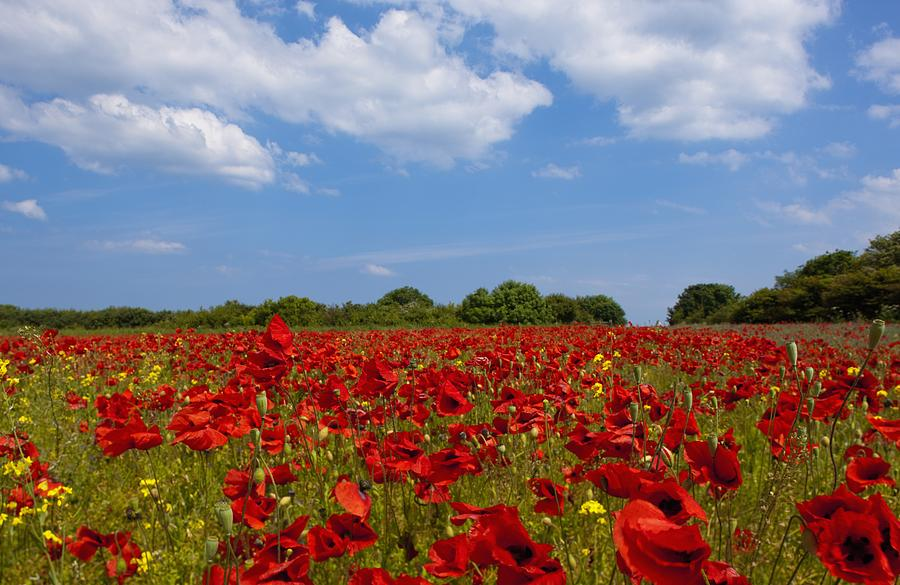 A Field Full Of Red Flowers Photograph By John Short