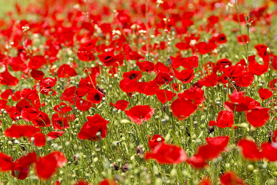 Europe Photograph - A Field Of Poppies by Richard Nowitz
