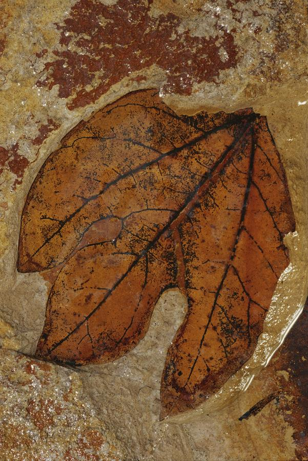 North America Photograph - A Fossilized  Sassafras Leaf by Jonathan Blair
