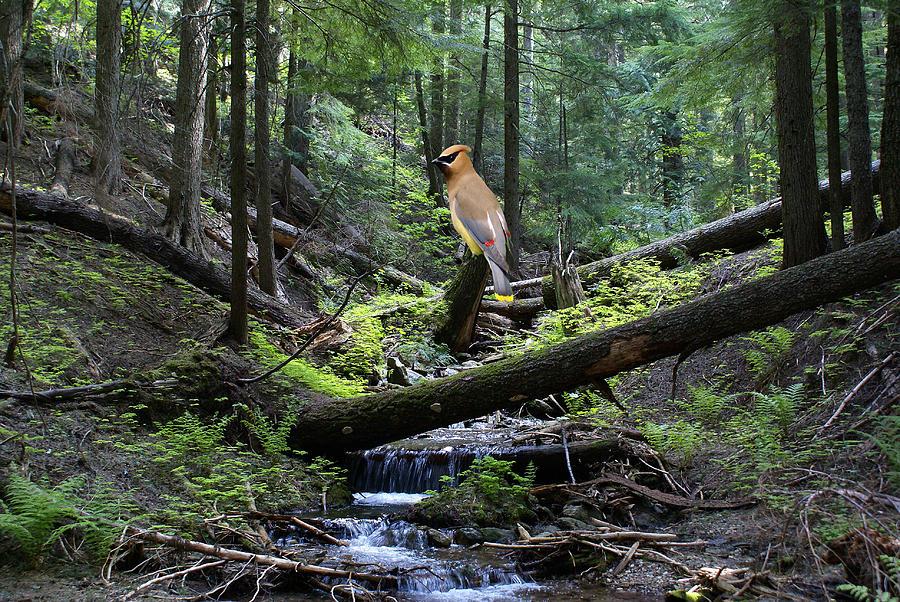 Cedar Waxwing Photograph - A Giant Cedar Waxwing On Mt Spokane by Ben Upham III