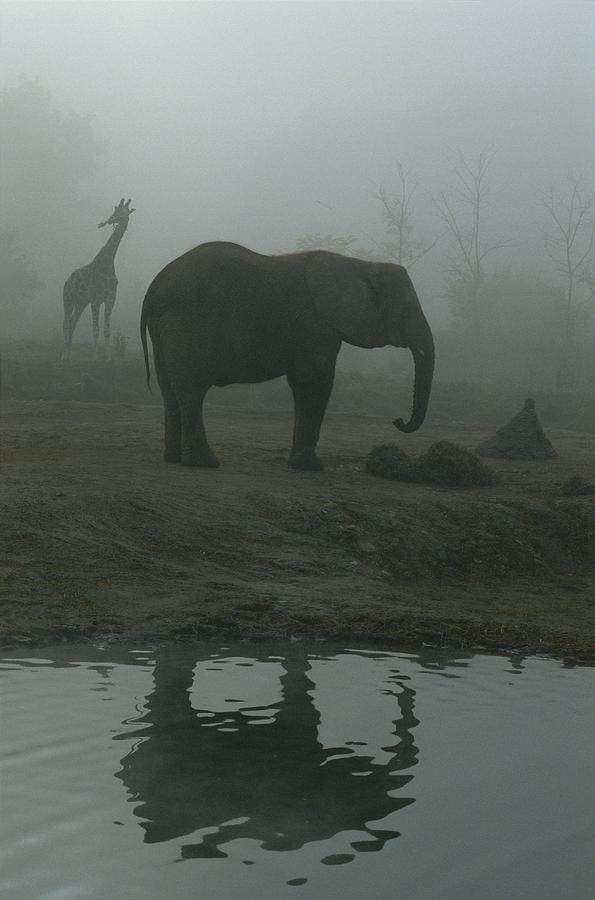 North America Photograph - A Giraffe And Elephant Live In The Same by Michael Nichols