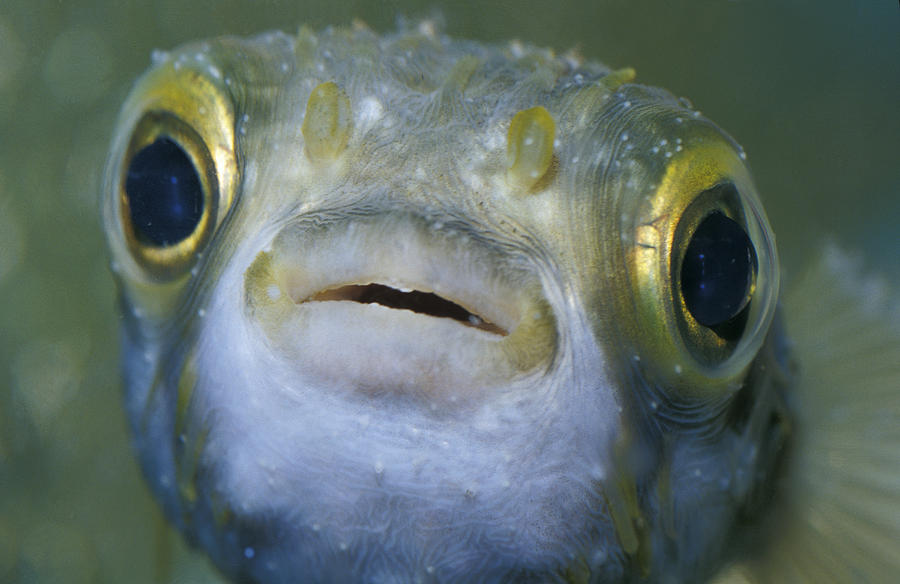 New South Wales Photograph - A Globe Fish Also Known As A Puffer by Jason Edwards