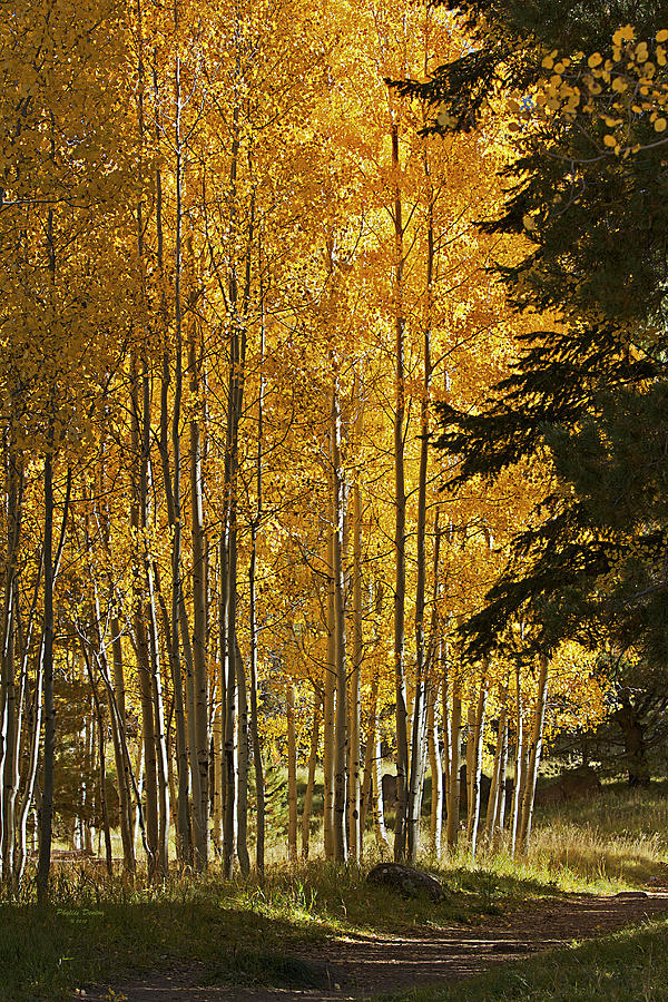 Fall Photograph - A Golden Trail by Phyllis Denton