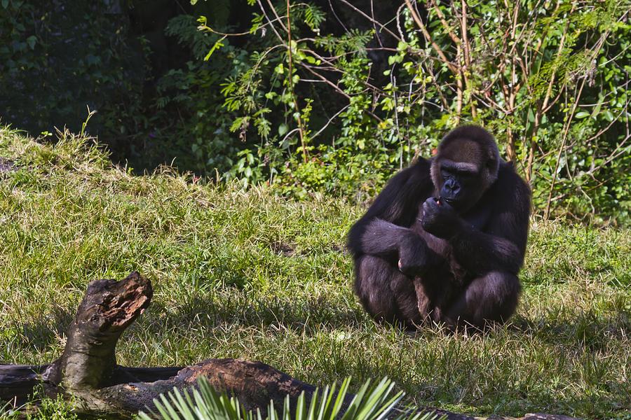 Busch Photograph - A Gorilla Of One by Nicholas Evans
