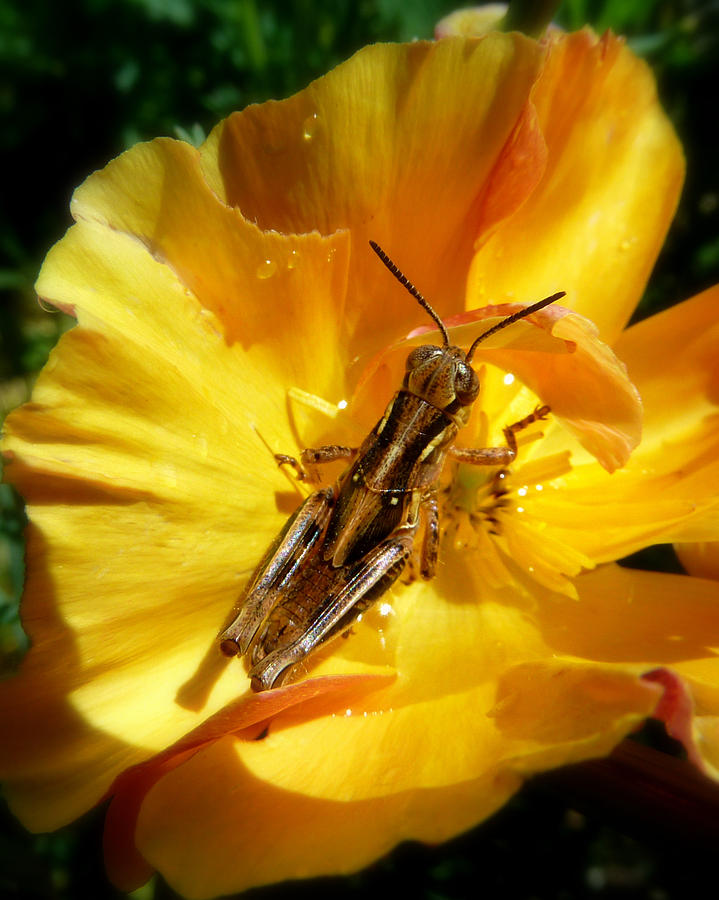 Cindy Photograph - A Grasshopper Breakfast by Cindy Wright