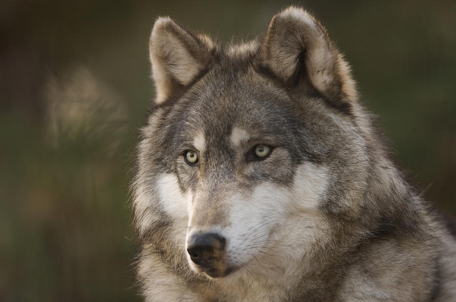 A Gray Wolf Canis Lupus At The Rolling Photograph by Joel ...