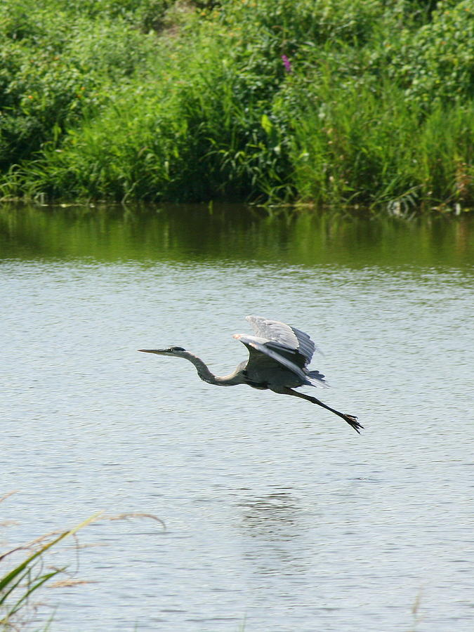 Great Blue Heron Photograph - A Great Blue Heron Landing by Neal Eslinger