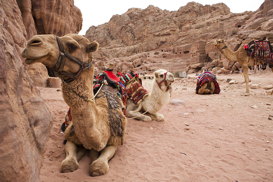 Petra Photograph - A Group Of Camels Sit Patiently by Taylor S. Kennedy