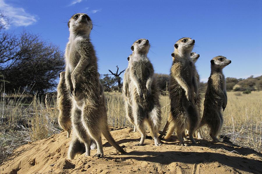 Animals Photograph - A Group Of Meerkats Standing Guard by Mattias Klum